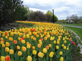Tulip Festival Ottawa. Creative Commons